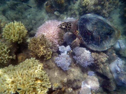 creature_hawksbill_australia_corals