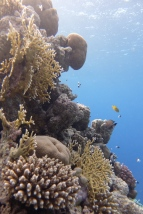 egypt_dunraven_coral