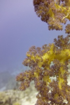 egypt_dunraven_soft_coral