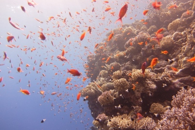 egypt_jackfish_alley_anthias