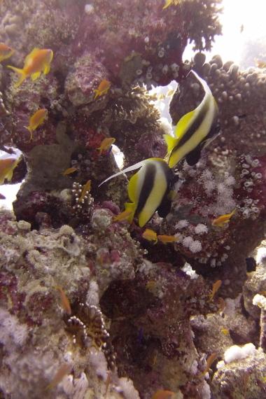 egypt_jackfish_alley_bannerfish