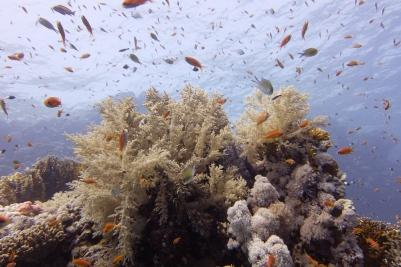 egypt_shark_yolande_corals